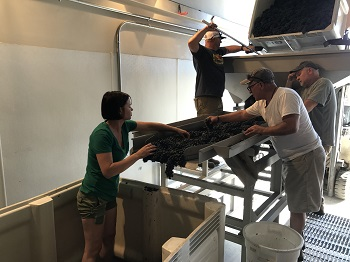 Mary Bradley sorting during the crush of her Zinfandel grapes