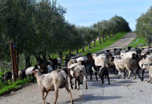Tablas Creek sheep