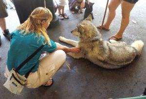 Kara from 805 Wine Country hanging out with a Wolf at Wolff Winery during the Roll out the barrel event